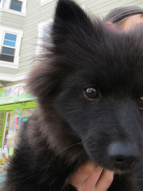 Dog of the Day: Biggie Smalls the Pomeranian Puppy   The